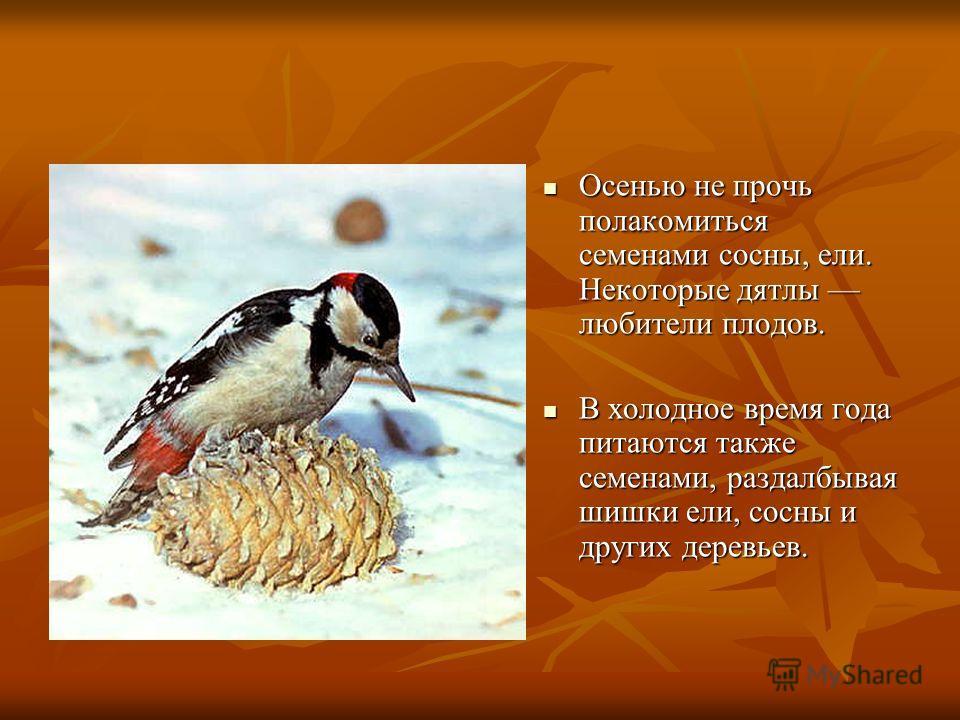 Осенью не прочь полакомиться семенами сосны, ели. Некоторые дятлы любители плодов. Осенью не прочь полакомиться семенами сосны, ели. Некоторые дятлы любители плодов. В холодное время года питаются также семенами, раздалбывая шишки ели, сосны и других