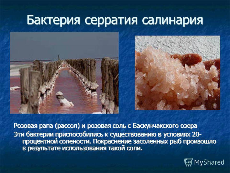 Бактерия серратия салинария Розовая рапа (рассол) и розовая соль с Баскунчакского озера Эти бактерии приспособились к существованию в условиях 20- процентной солености. Покраснение засоленных рыб произошло в результате использования такой соли.