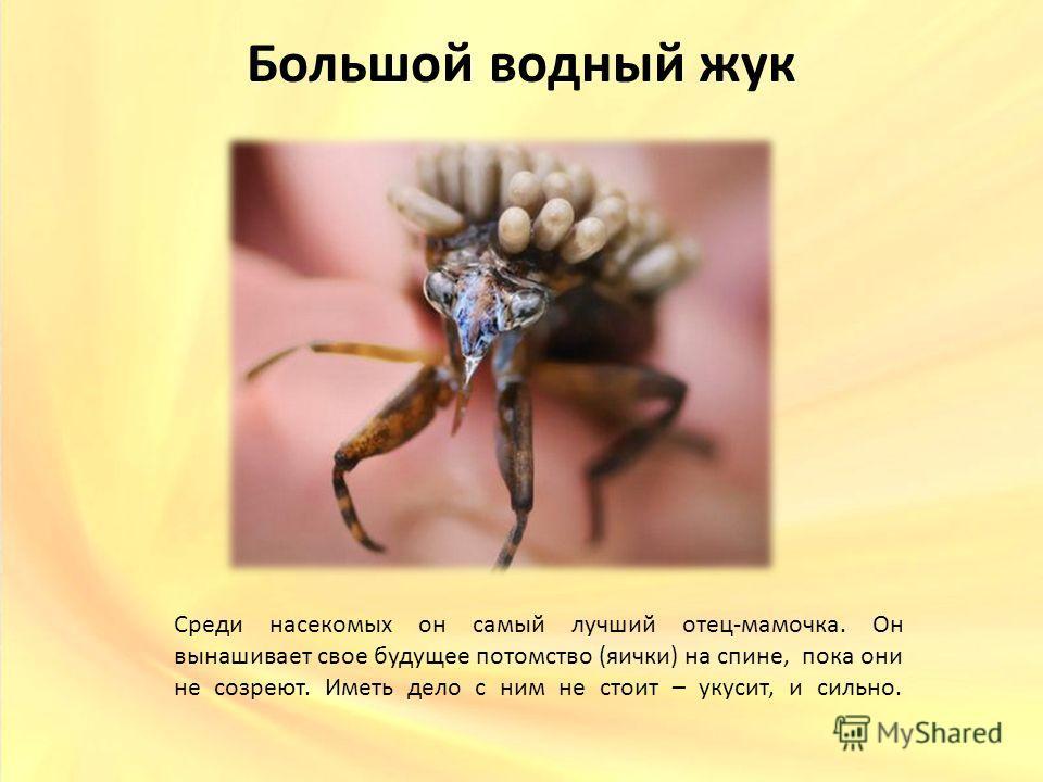 Большой водный жук Среди насекомых он самый лучший отец-мамочка. Он вынашивает свое будущее потомство (яички) на спине, пока они не созреют. Иметь дело с ним не стоит – укусит, и сильно.