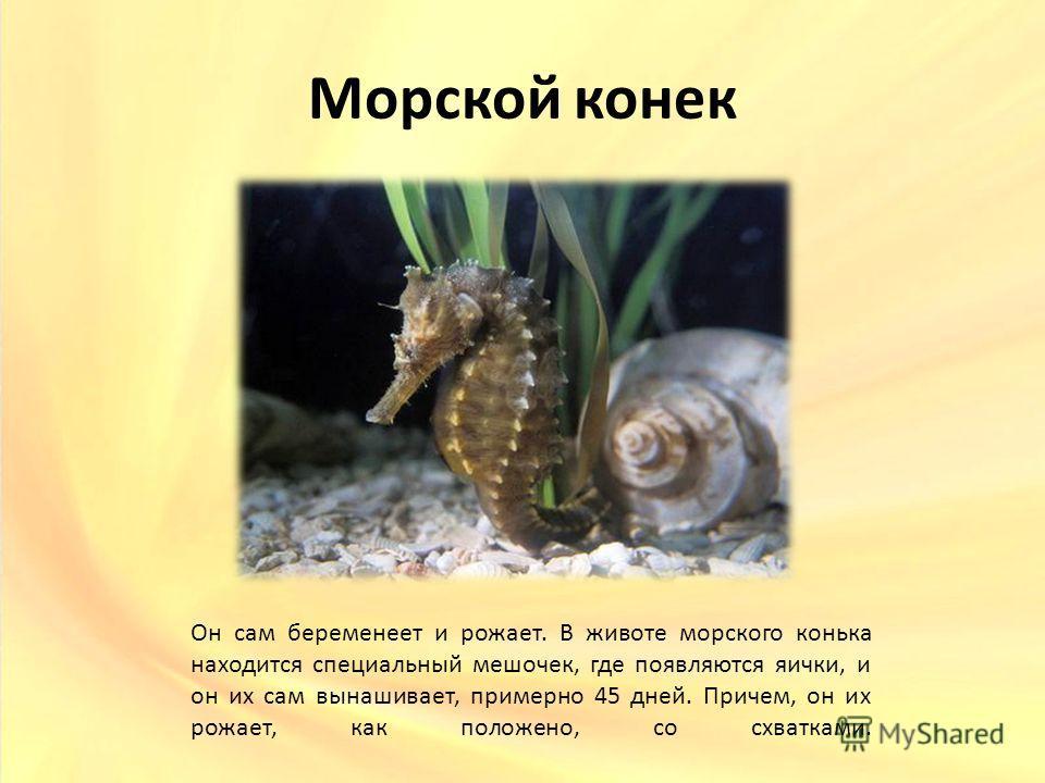 Морской конек Он сам беременеет и рожает. В животе морского конька находится специальный мешочек, где появляются яички, и он их сам вынашивает, примерно 45 дней. Причем, он их рожает, как положено, со схватками.