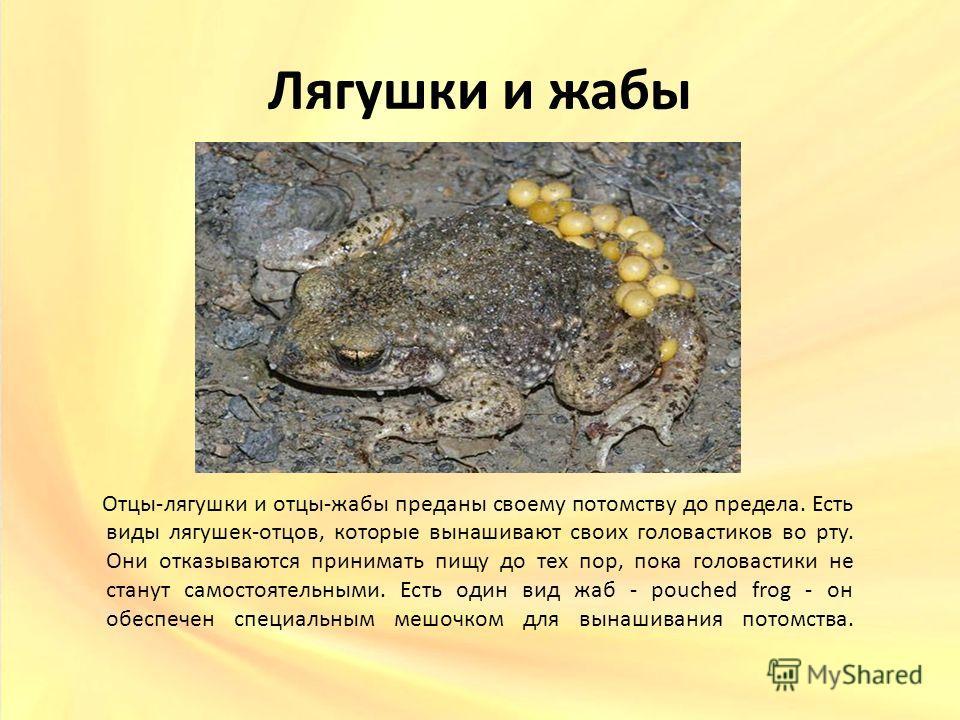 Лягушки и жабы Отцы-лягушки и отцы-жабы преданы своему потомству до предела. Есть виды лягушек-отцов, которые вынашивают своих головастиков во рту. Они отказываются принимать пищу до тех пор, пока головастики не станут самостоятельными. Есть один вид