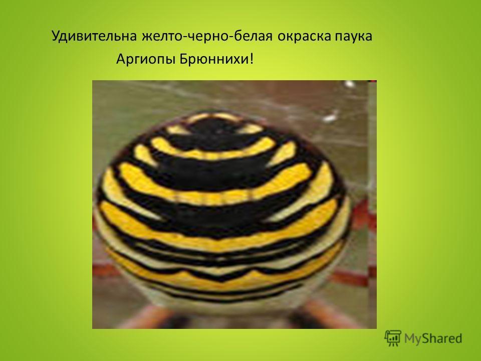 Удивительна желто-черно-белая окраска паука Аргиопы Брюннихи!