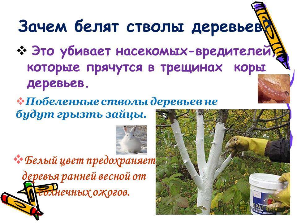 Зачем белят стволы деревьев? Это убивает насекомых-вредителей, которые прячутся в трещинах коры деревьев. Побеленные стволы деревьев не будут грызть зайцы. Белый цвет предохраняет деревья ранней весной от солнечных ожогов.