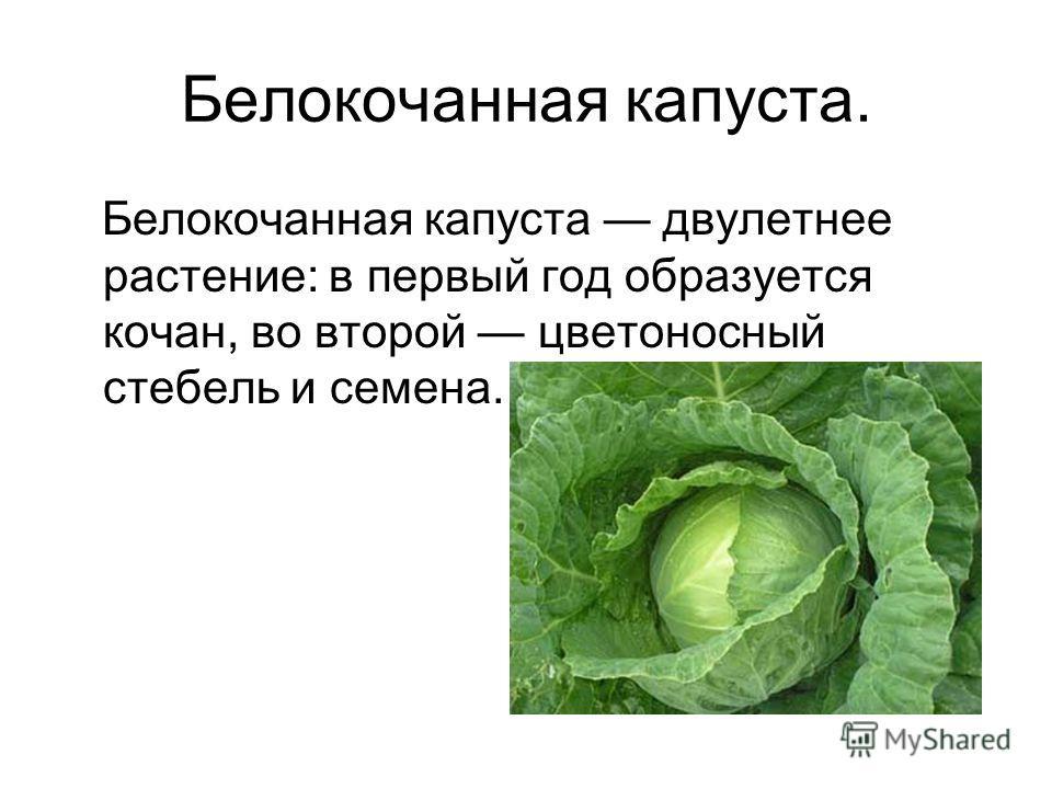 Белокочанная капуста. Белокочанная капуста двулетнее растение: в первый год образуется кочан, во второй цветоносный стебель и семена.