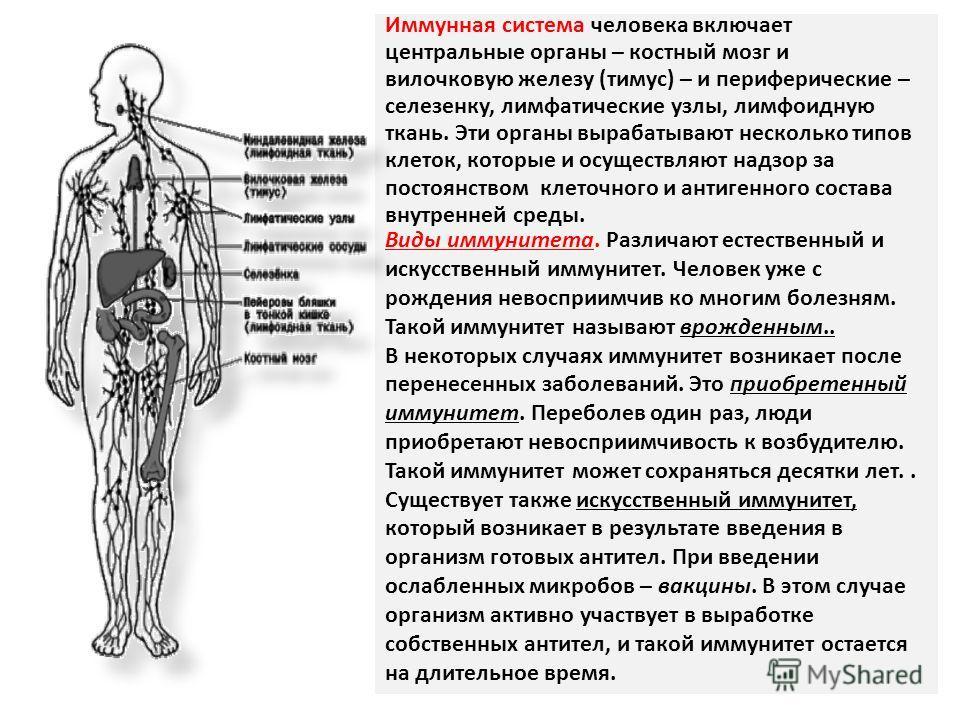 Иммунная система человека включает центральные органы – костный мозг и вилочковую железу (тимус) – и периферические – селезенку, лимфатические узлы, лимфоидную ткань. Эти органы вырабатывают несколько типов клеток, которые и осуществляют надзор за по
