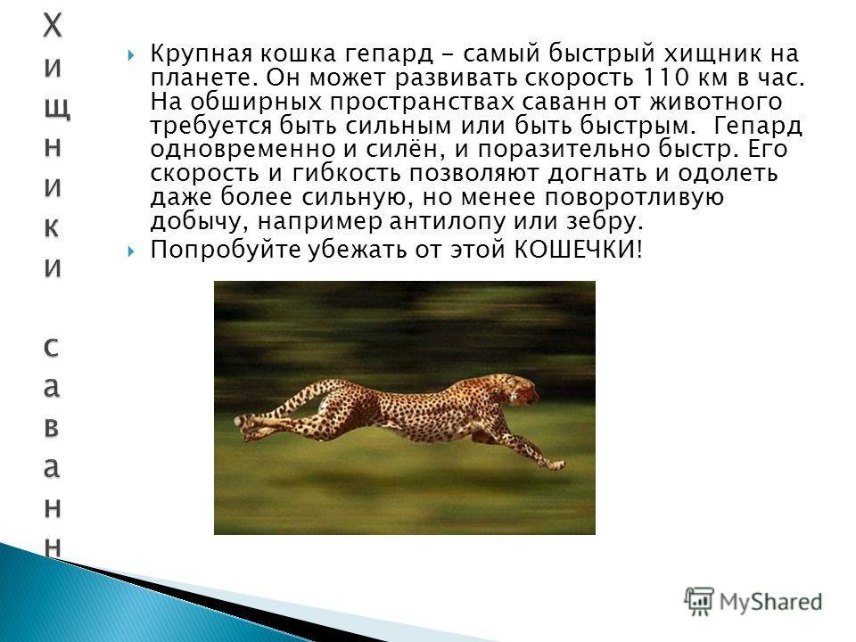 Крупная кошка гепард - самый быстрый хищник на планете. Он может развивать скорость 110 км в час. На обширных пространствах саванн от животного требуется быть сильным или быть быстрым. Гепард одновременно и силён, и поразительно быстр. Его скорость и