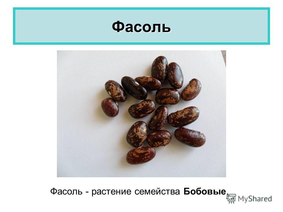 Фасоль Фасоль - растение семейства Бобовые.