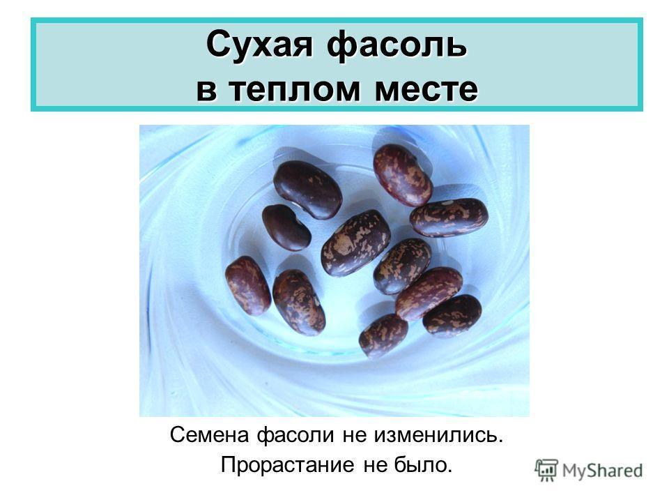 Сухая фасоль в теплом месте Семена фасоли не изменились. Прорастание не было.