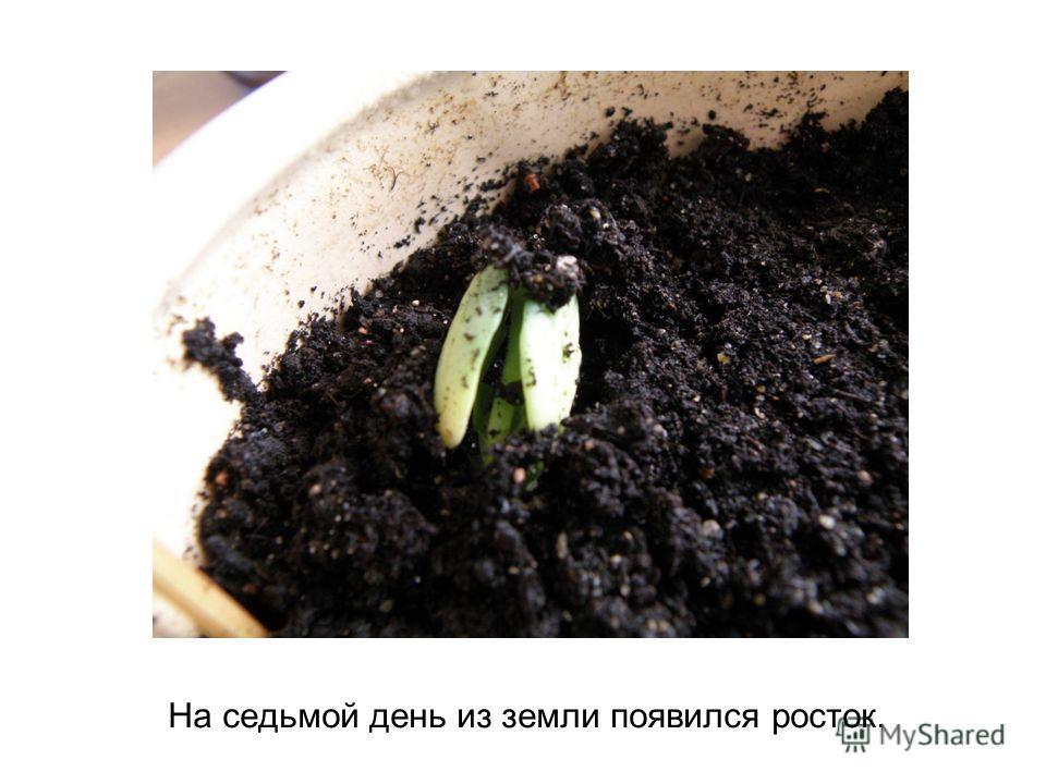 На седьмой день из земли появился росток.