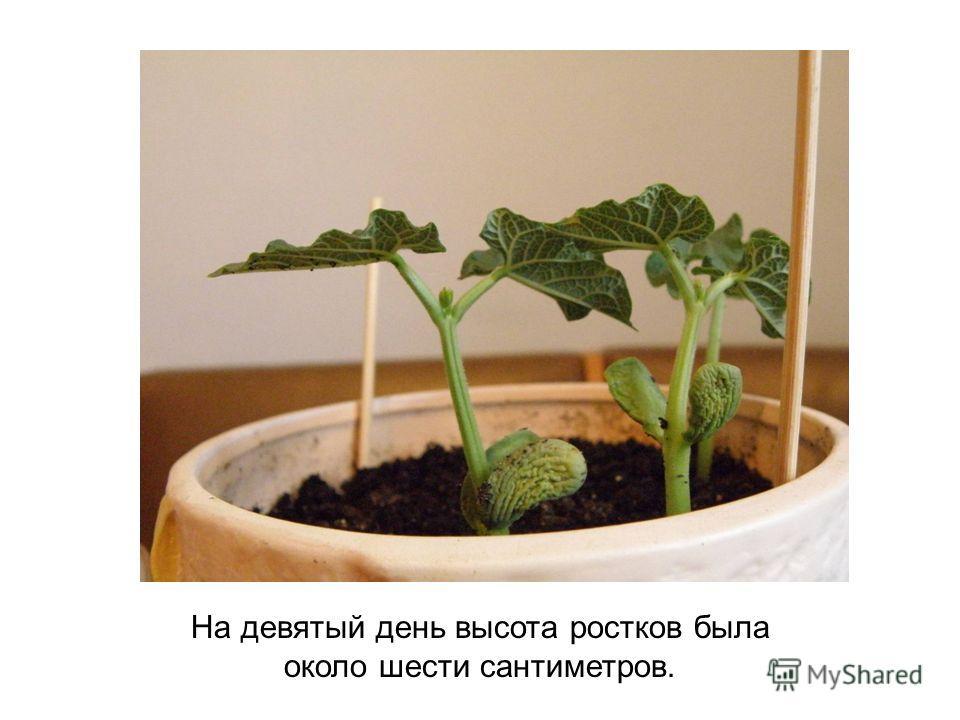 На девятый день высота ростков была около шести сантиметров.