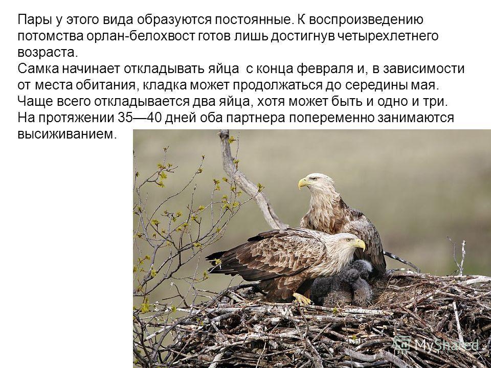 Пары у этого вида образуются постоянные. К воспроизведению потомства орлан-белохвост готов лишь достигнув четырехлетнего возраста. Самка начинает откладывать яйца с конца февраля и, в зависимости от места обитания, кладка может продолжаться до середи