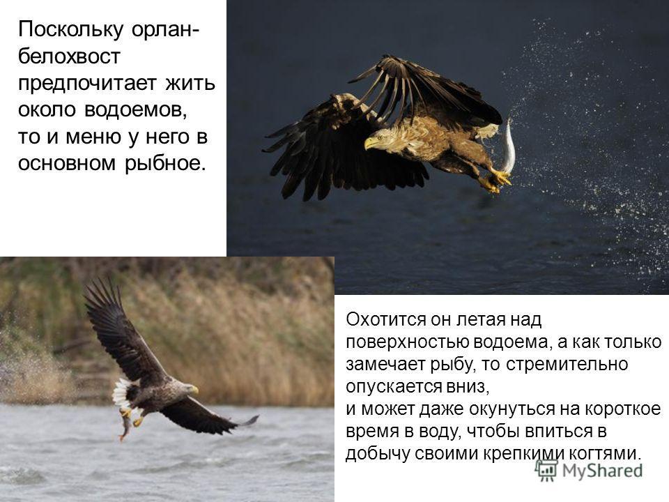 Поскольку орлан- белохвост предпочитает жить около водоемов, то и меню у него в основном рыбное. Охотится он летая над поверхностью водоема, а как только замечает рыбу, то стремительно опускается вниз, и может даже окунуться на короткое время в воду,