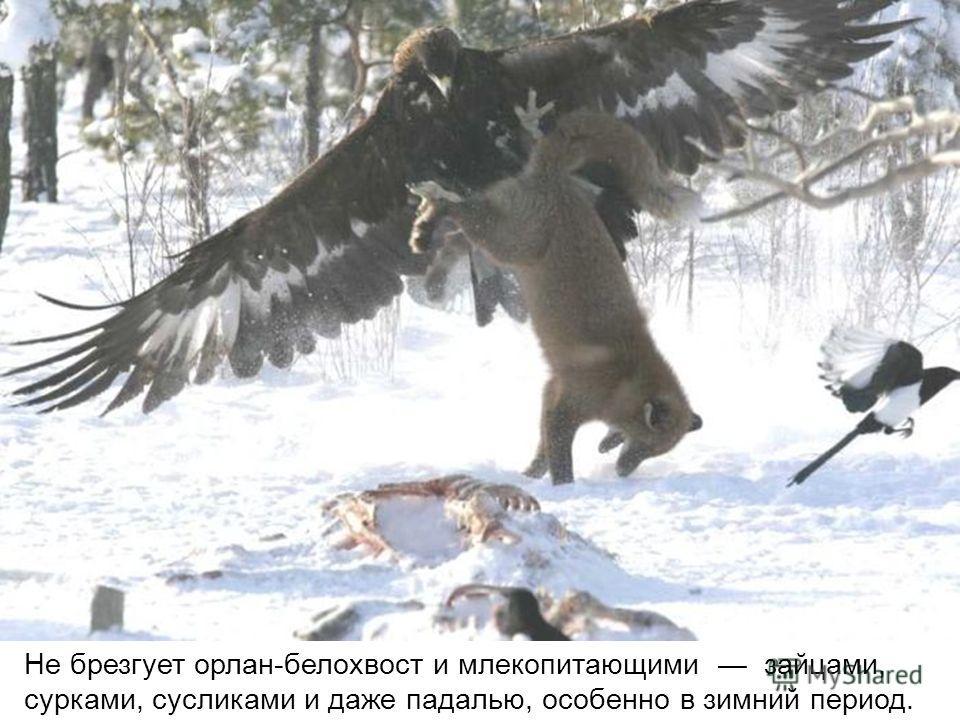 Не брезгует орлан-белохвост и млекопитающими зайцами, сурками, сусликами и даже падалью, особенно в зимний период.