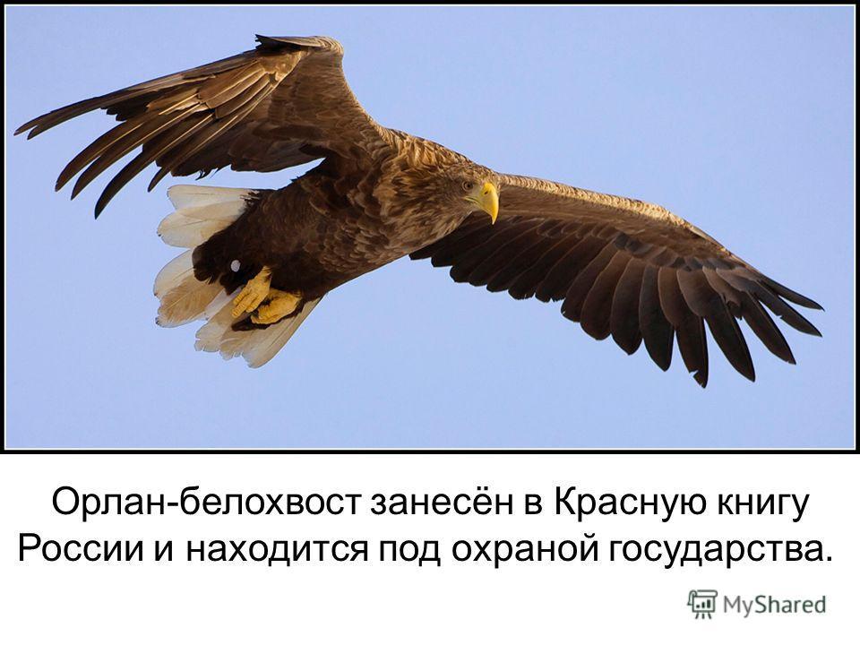 Орлан-белохвост занесён в Красную книгу России и находится под охраной государства.