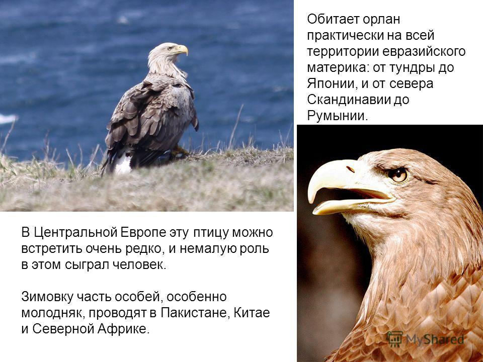 В Центральной Европе эту птицу можно встретить очень редко, и немалую роль в этом сыграл человек. Зимовку часть особей, особенно молодняк, проводят в Пакистане, Китае и Северной Африке. Обитает орлан практически на всей территории евразийского матери