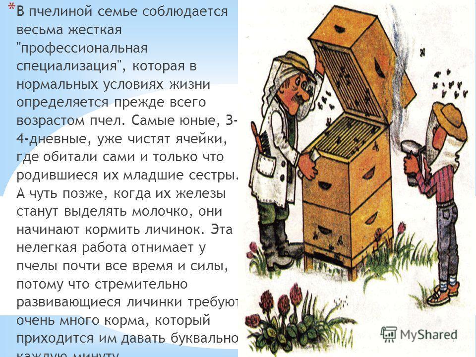 21.10.13 * В пчелиной семье соблюдается весьма жесткая