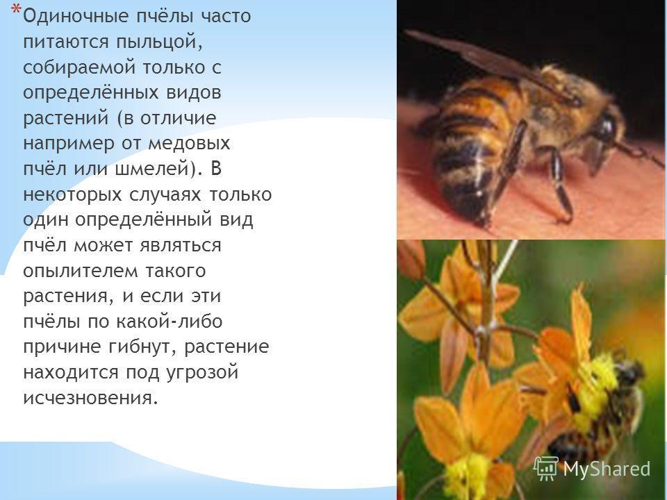 21.10.13 * Одиночные пчёлы часто питаются пыльцой, собираемой только с определённых видов растений (в отличие например от медовых пчёл или шмелей). В некоторых случаях только один определённый вид пчёл может являться опылителем такого растения, и есл
