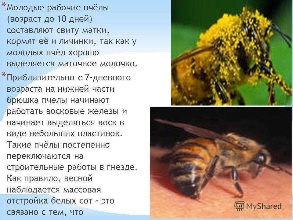 21.10.13 * Молодые рабочие пчёлы (возраст до 10 дней) составляют свиту матки, кормят её и личинки, так как у молодых пчёл хорошо выделяется маточное молочко. * Приблизительно с 7-дневного возраста на нижней части брюшка пчелы начинают работать восков