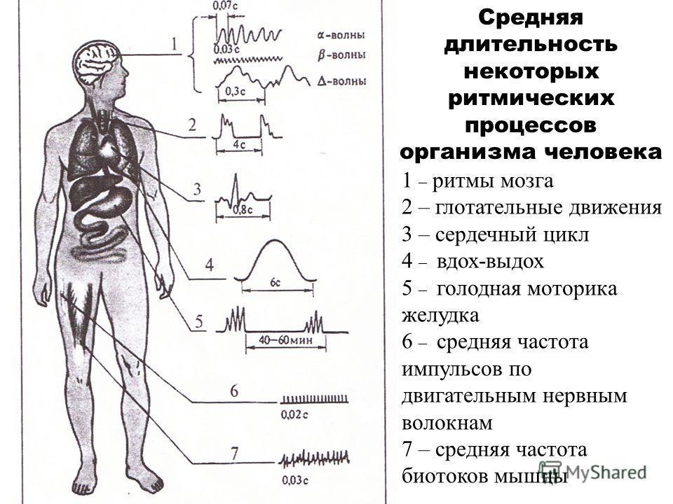 1 – ритмы мозга 2 – глотательные движения 3 – сердечный цикл 4 – вдох-выдох 5 – голодная моторика желудка 6 – средняя частота импульсов по двигательным нервным волокнам 7 – средняя частота биотоков мышцы Средняя длительность некоторых ритмических про