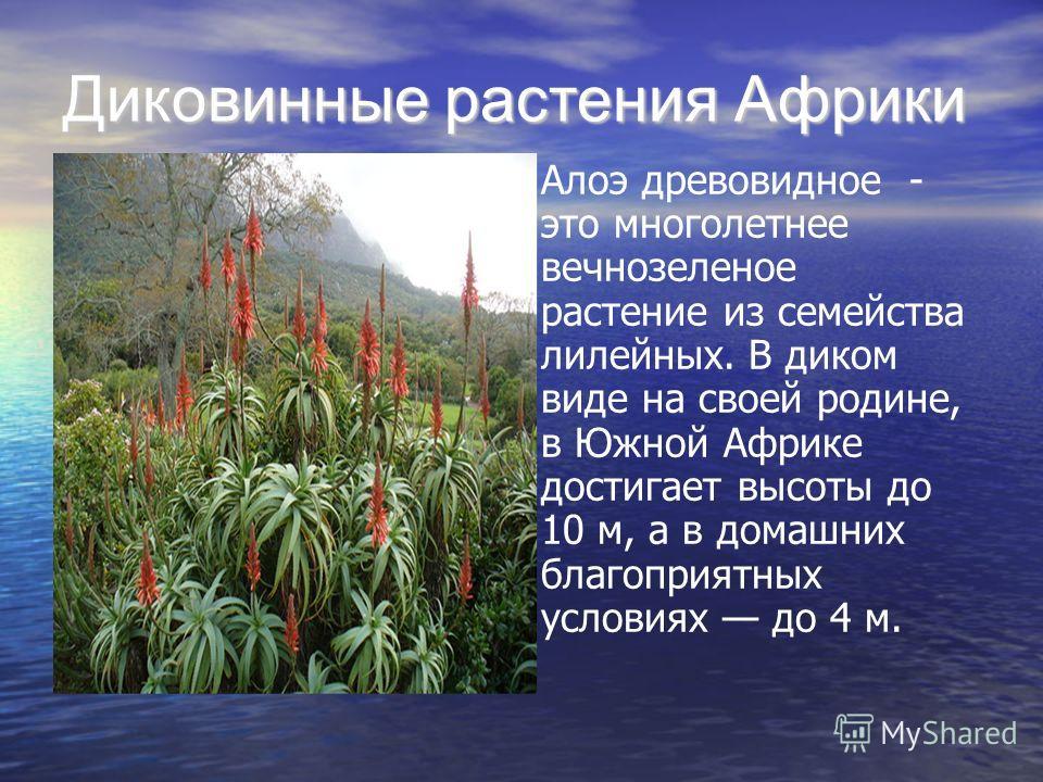 Алоэ древовидное - это многолетнее вечнозеленое растение из семейства лилейных. В диком виде на своей родине, в Южной Африке достигает высоты до 10 м, а в домашних благоприятных условиях до 4 м.