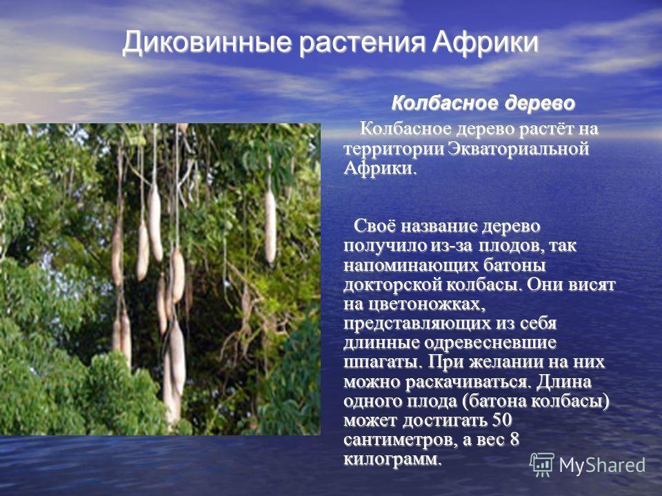 Диковинные растения Африки Колбасное дерево Колбасное дерево растёт на территории Экваториальной Африки. Своё название дерево получило из-за плодов, так напоминающих батоны докторской колбасы. Они висят на цветоножках, представляющих из себя длинные