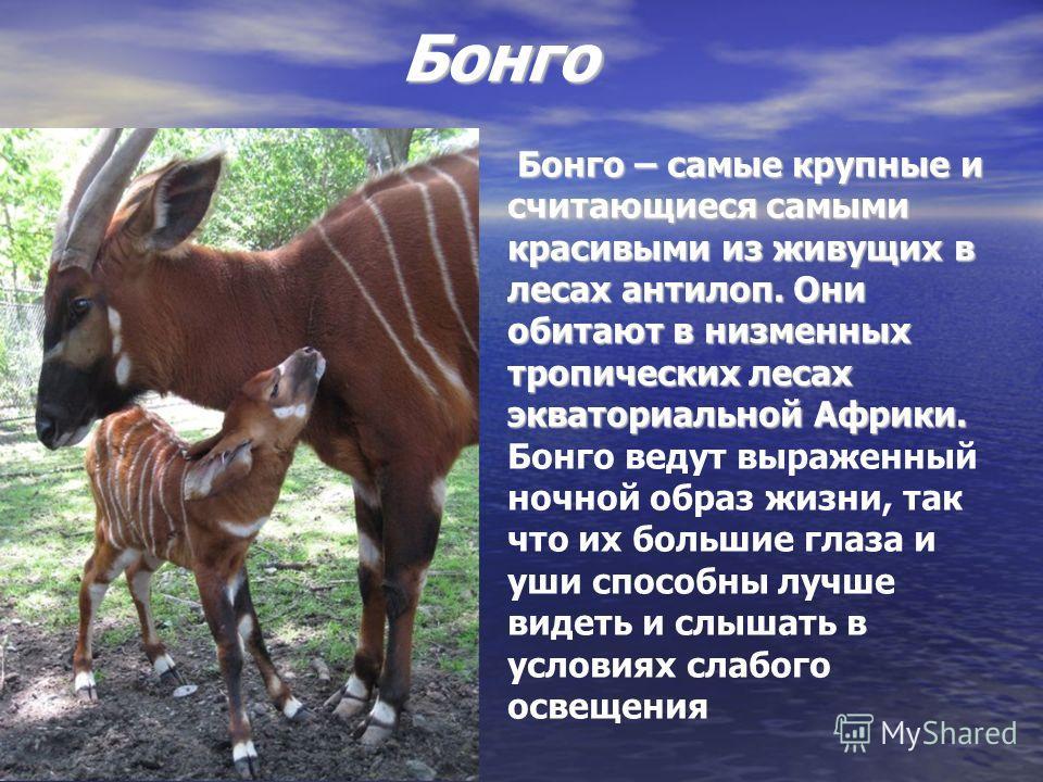 Бонго Бонго – самые крупные и считающиеся самыми красивыми из живущих в лесах антилоп. Они обитают в низменных тропических лесах экваториальной Африки. Бонго – самые крупные и считающиеся самыми красивыми из живущих в лесах антилоп. Они обитают в низ