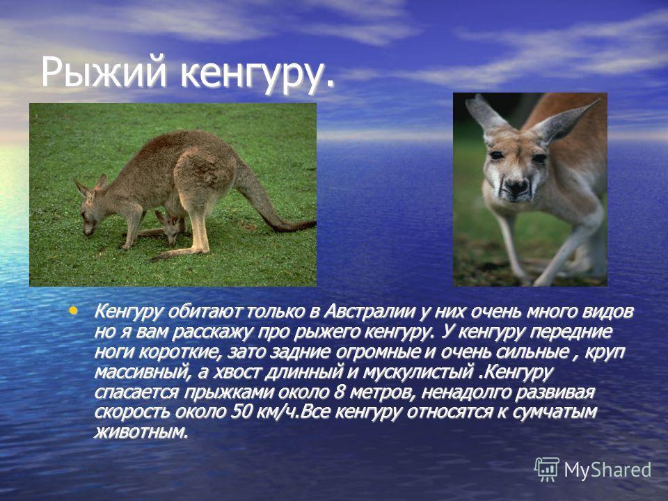 Рыжий кенгуру. Кенгуру обитают только в Австралии у них очень много видов но я вам расскажу про рыжего кенгуру. У кенгуру передние ноги короткие, зато задние огромные и очень сильные, круп массивный, а хвост длинный и мускулистый.Кенгуру спасается пр