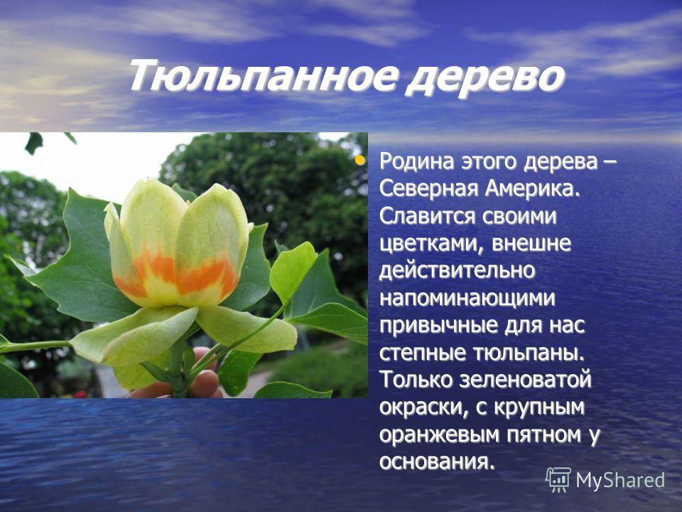 Тюльпанное дерево Родина этого дерева – Северная Америка. Славится своими цветками, внешне действительно напоминающими привычные для нас степные тюльпаны. Только зеленоватой окраски, с крупным оранжевым пятном у основания. Родина этого дерева – Север