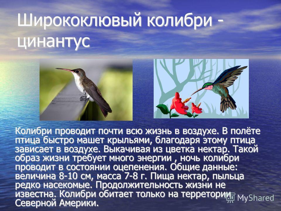 Ширококлювый колибри - цинантус Колибри проводит почти всю жизнь в воздухе. В полёте птица быстро машет крыльями, благодаря этому птица зависает в воздухе. Выкачивая из цветка нектар. Такой образ жизни требует много энергии, ночь колибри проводит в с