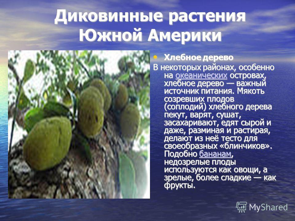 Диковинные растения Южной Америки Хлебное дерево Хлебное дерево В некоторых районах, особенно на океанических островах, хлебное дерево важный источник питания. Мякоть созревших плодов (соплодий) хлебного дерева пекут, варят, сушат, засахаривают, едят