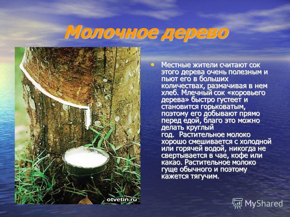 Молочное дерево Местные жители считают сок этого дерева очень полезным и пьют его в больших количествах, размачивая в нем хлеб. Млечный сок «коровьего дерева» быстро густеет и становится горьковатым, поэтому его добывают прямо перед едой, благо это м