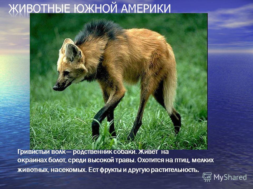 Гривистый волк родственник собаки. Живет на окраинах болот, среди высокой травы. Охотится на птиц, мелких животных, насекомых. Ест фрукты и другую растительность.
