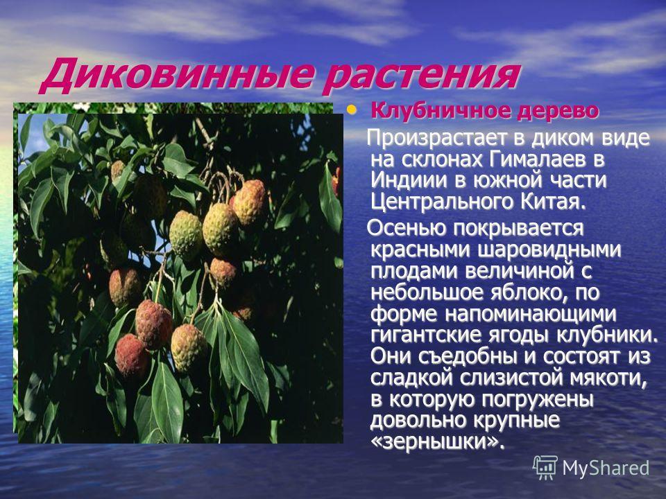 Диковинные растения Клубничное дерево Клубничное дерево Произрастает в диком виде на склонах Гималаев в Индиии в южной части Центрального Китая. Произрастает в диком виде на склонах Гималаев в Индиии в южной части Центрального Китая. О сенью покрывае