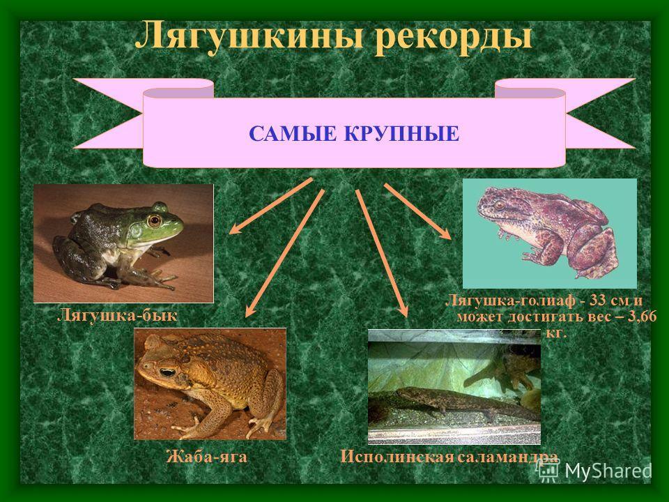 Лягушкины рекорды САМЫЕ КРУПНЫЕ Лягушка-голиаф - 33 см и может достигать вес – 3,66 кг. Исполинская саламандра Лягушка-бык Жаба-яга