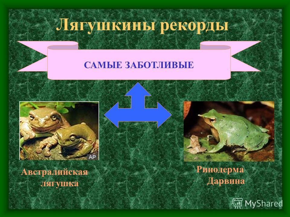 Лягушкины рекорды САМЫЕ ЗАБОТЛИВЫЕ Ринодерма Дарвина Австралийская лягушка