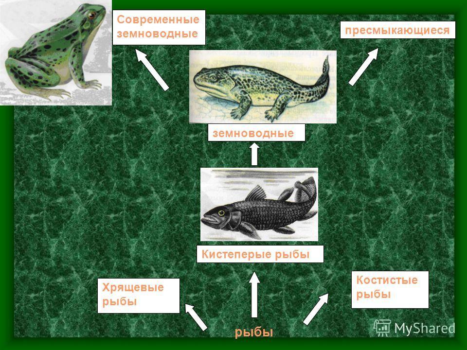 рыбы Костистые рыбы Кистеперые рыбы Хрящевые рыбы земноводные пресмыкающиеся Современные земноводные