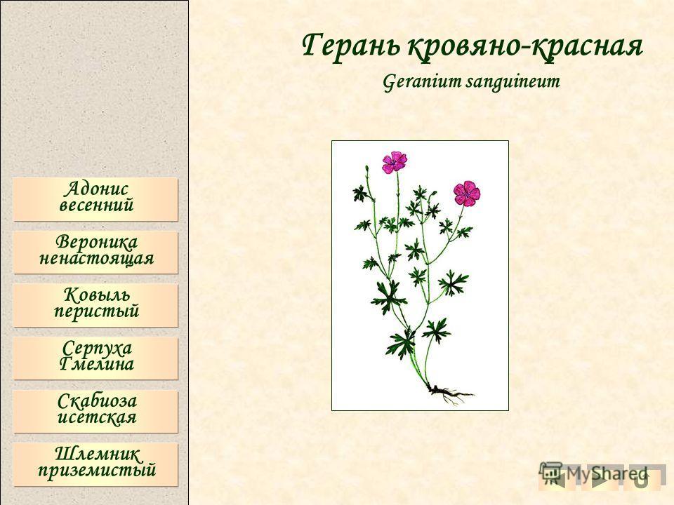 Адонис весенний Вероника ненастоящая Ковыль перистый Серпуха Гмелина Скабиоза исетская Шлемник приземистый Герань кровяно-красная Geranium sanguineum