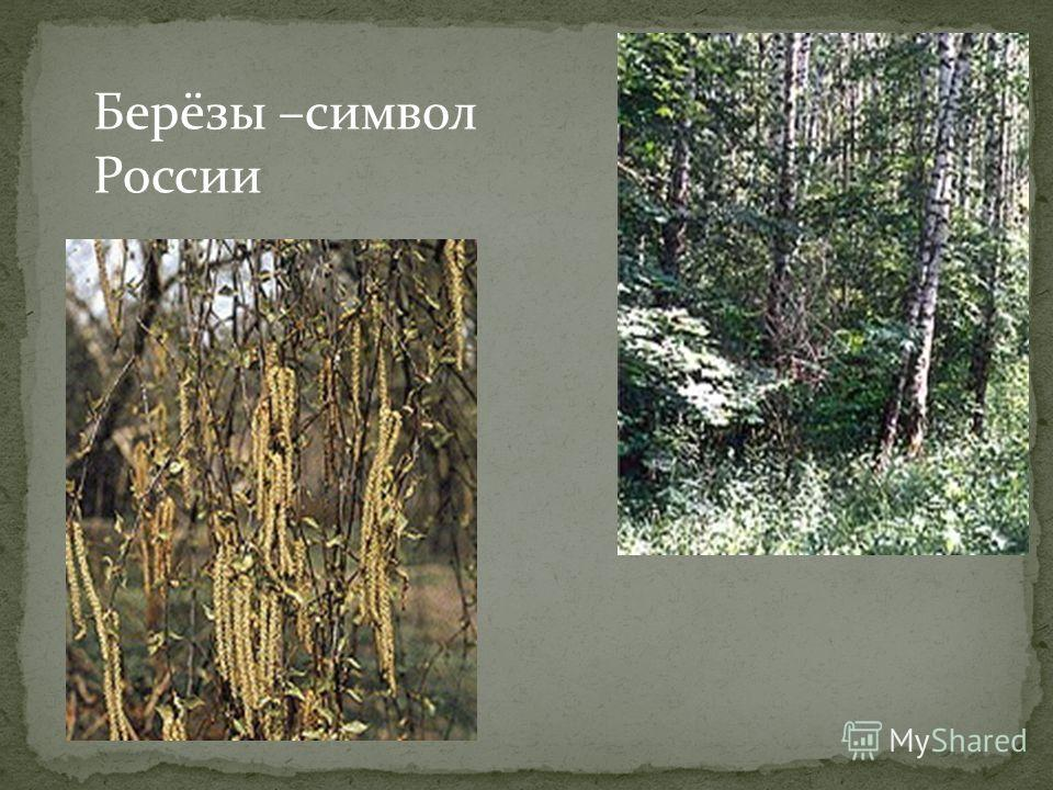 Берёзы –символ России
