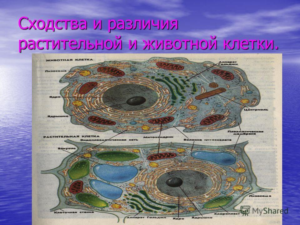 Сходства и различия растительной и животной клетки.