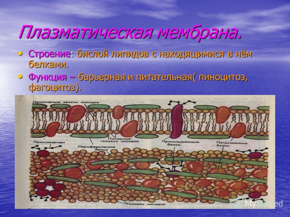 Плазматическая мембрана. Строение: бислой липидов с находящимися в нём белками. Функция – барьерная и питательная( пиноцитоз, фагоцитоз).