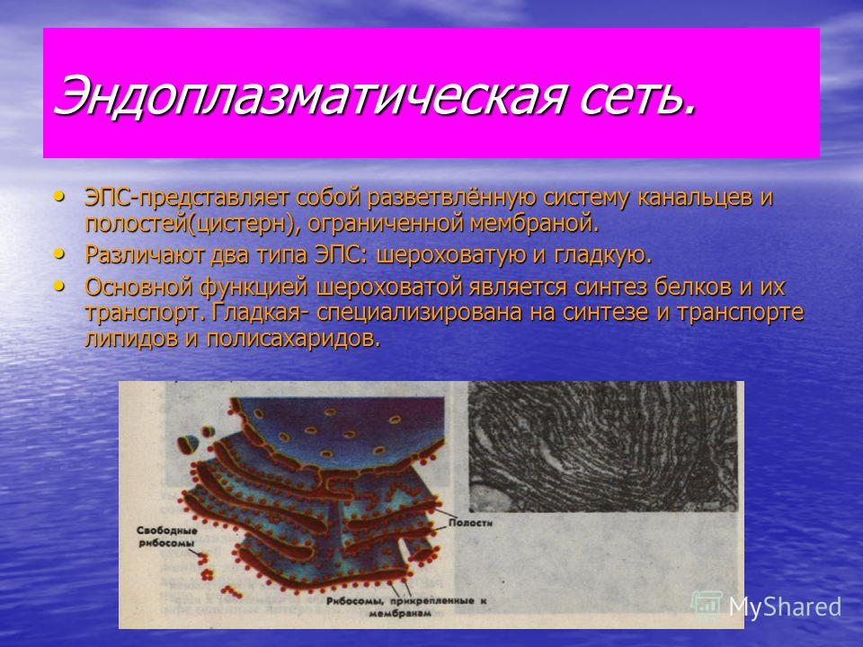 Эндоплазматическая сеть. ЭПС-представляет собой разветвлённую систему канальцев и полостей(цистерн), ограниченной мембраной. ЭПС-представляет собой разветвлённую систему канальцев и полостей(цистерн), ограниченной мембраной. Различают два типа ЭПС: ш