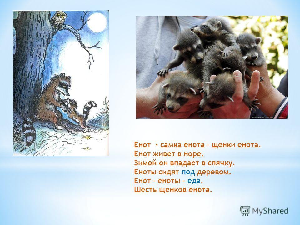 Енот - самка енота – щенки енота. Енот живет в норе. Зимой он впадает в спячку. Еноты сидят под деревом. Енот – еноты – еда. Шесть щенков енота.