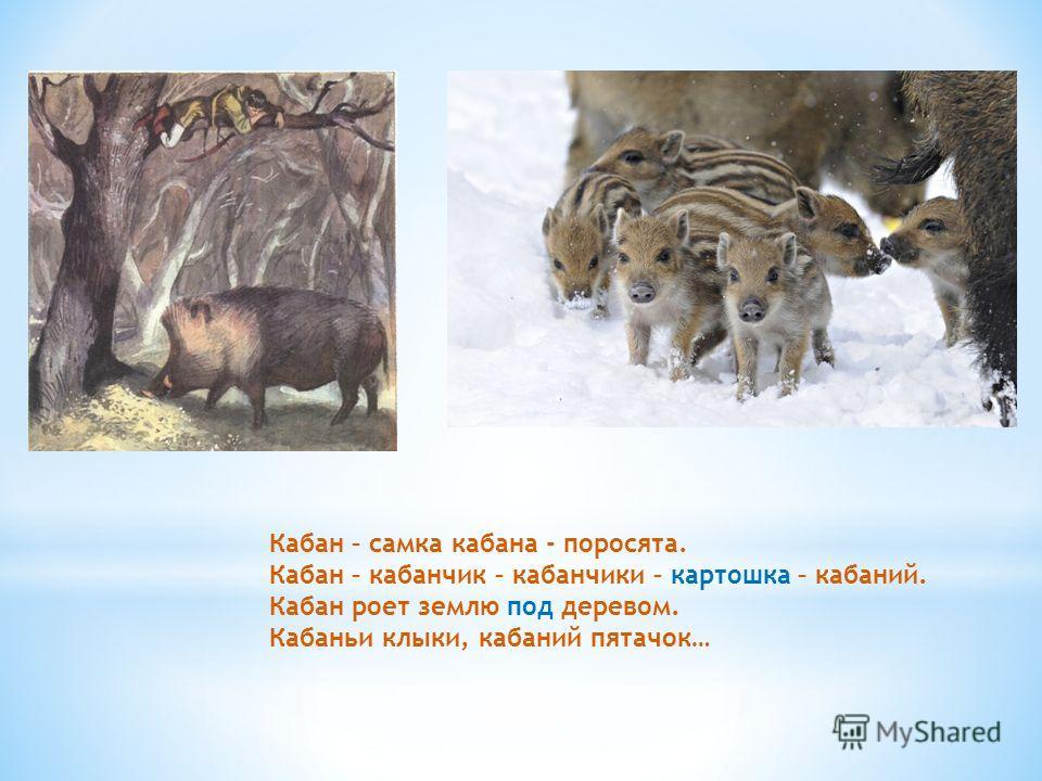 Кабан – самка кабана - поросята. Кабан – кабанчик – кабанчики – картошка – кабаний. Кабан роет землю под деревом. Кабаньи клыки, кабаний пятачок…