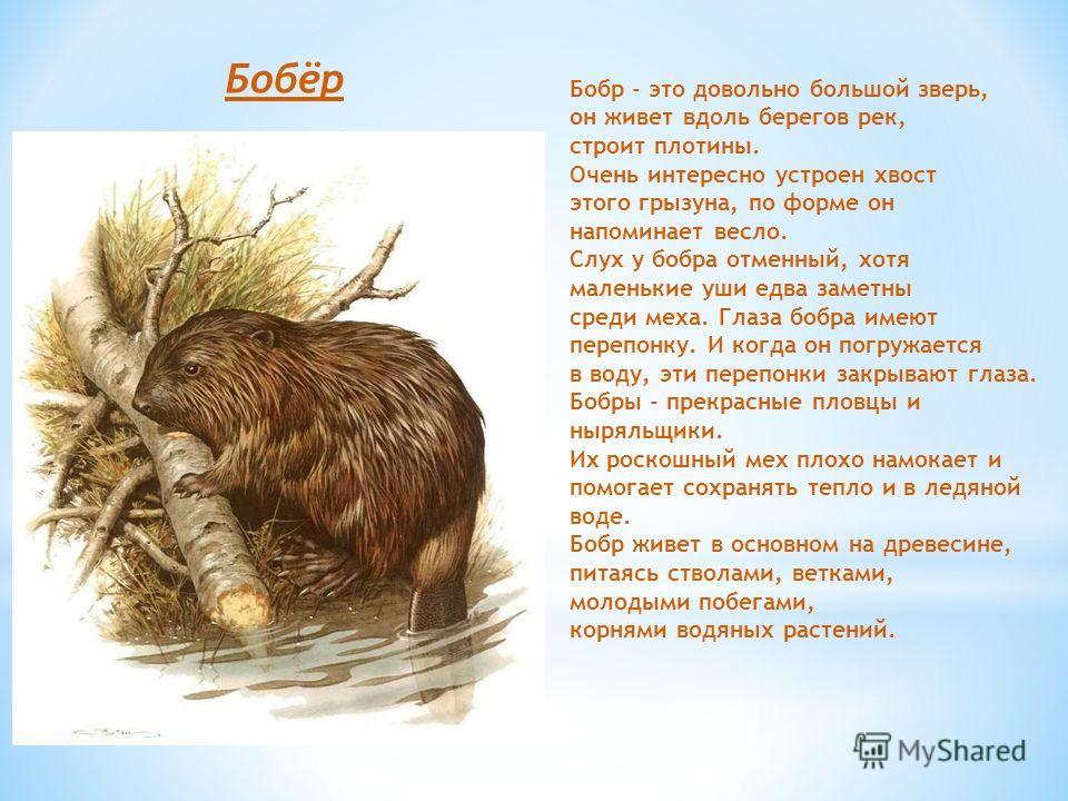 Бобёр Бобр - это довольно большой зверь, он живет вдоль берегов рек, строит плотины. Очень интересно устроен хвост этого грызуна, по форме он напоминает весло. Слух у бобра отменный, хотя маленькие уши едва заметны среди меха. Глаза бобра имеют переп