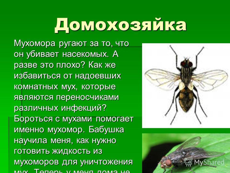 Домохозяйка Мухомора ругают за то, что он убивает насекомых. А разве это плохо? Как же избавиться от надоевших комнатных мух, которые являются переносчиками различных инфекций? Бороться с мухами помогает именно мухомор. Бабушка научила меня, как нужн
