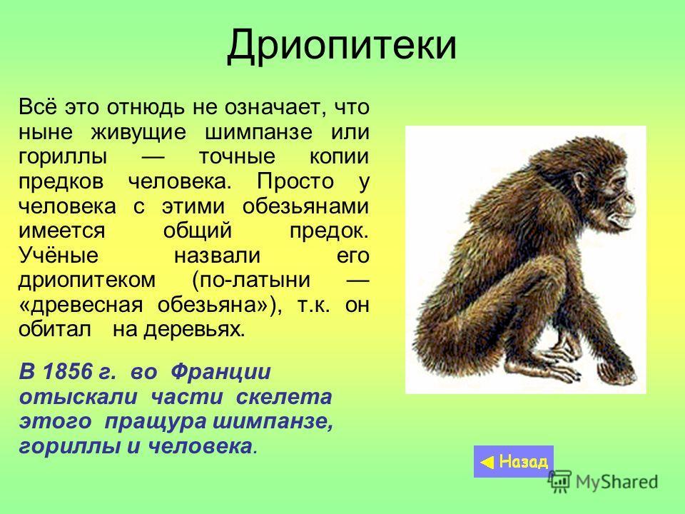Дриопитеки Всё это отнюдь не означает, что ныне живущие шимпанзе или гориллы точные копии предков человека. Просто у человека с этими обезьянами имеется общий предок. Учёные назвали его дриопитеком (по-латыни «древесная обезьяна»), т.к. он обитал на