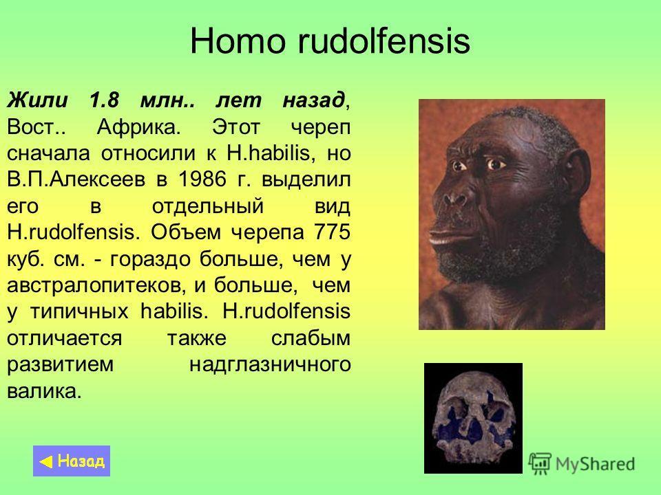 Homo rudolfensis Жили 1.8 млн.. лет назад, Вост.. Африка. Этот череп сначала относили к H.habilis, но В.П.Алексеев в 1986 г. выделил его в отдельный вид H.rudolfensis. Объем черепа 775 куб. см. - гораздо больше, чем у австралопитеков, и больше, чем у