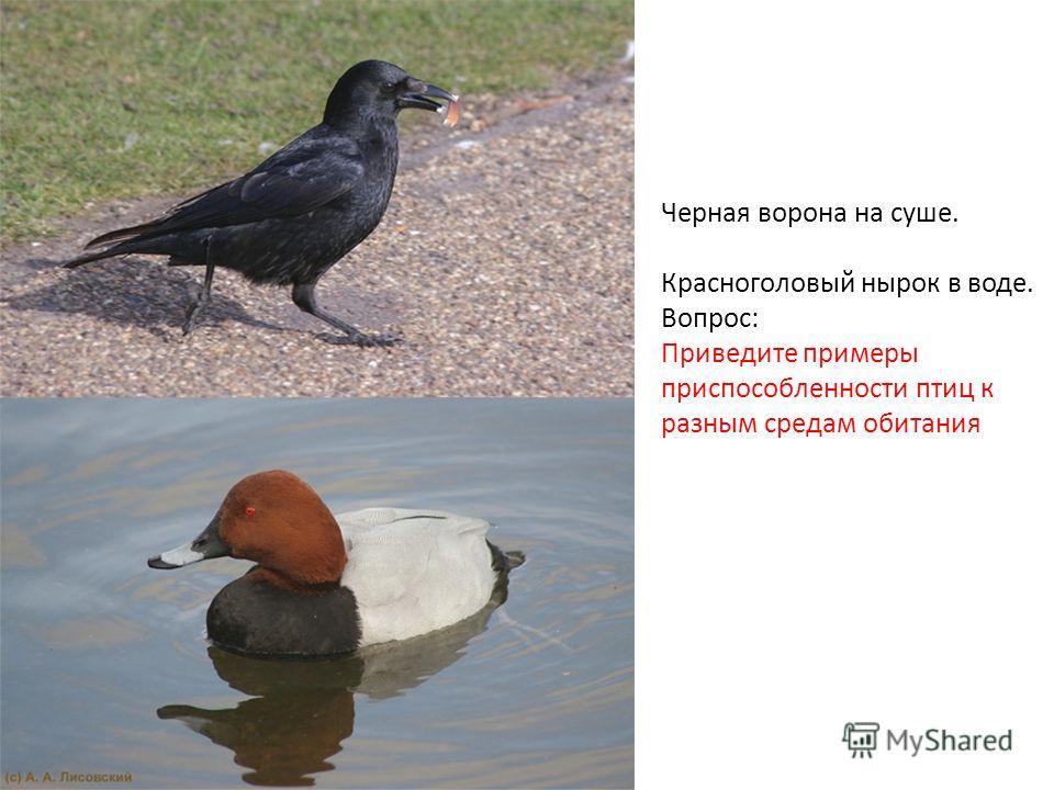 Черная ворона на суше. Красноголовый нырок в воде. Вопрос: Приведите примеры приспособленности птиц к разным средам обитания