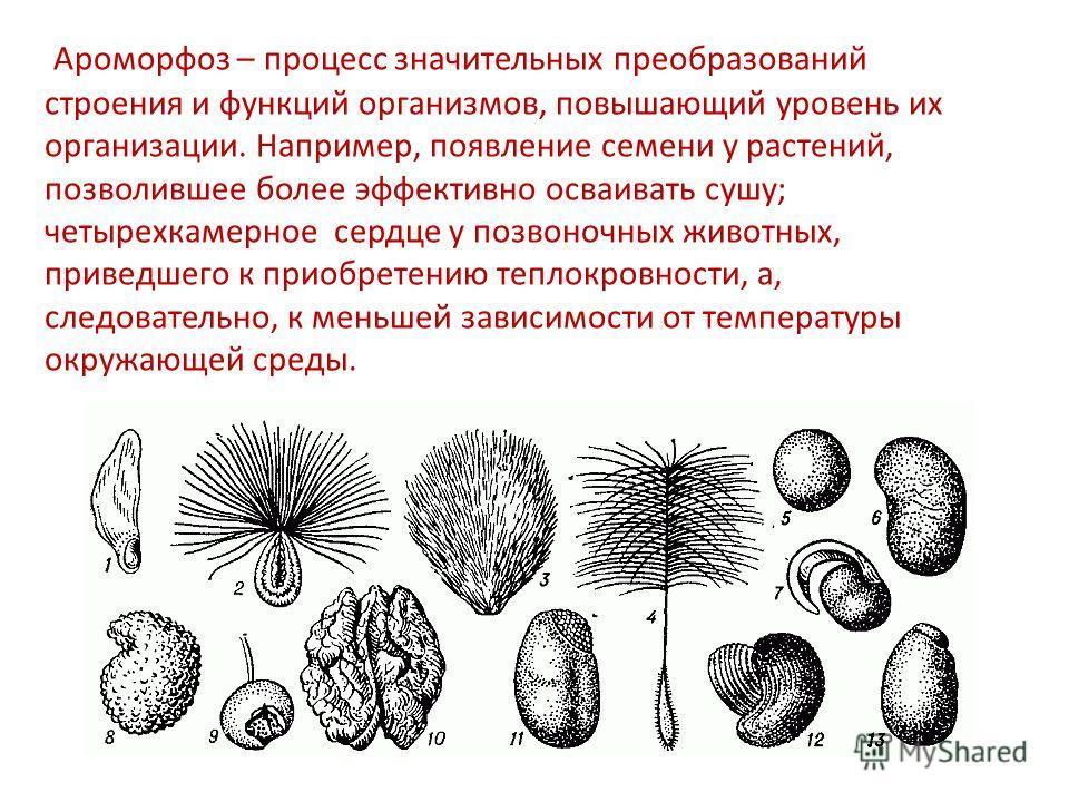 Ароморфоз – процесс значительных преобразований строения и функций организмов, повышающий уровень их организации. Например, появление семени у растений, позволившее более эффективно осваивать сушу; четырехкамерное сердце у позвоночных животных, приве