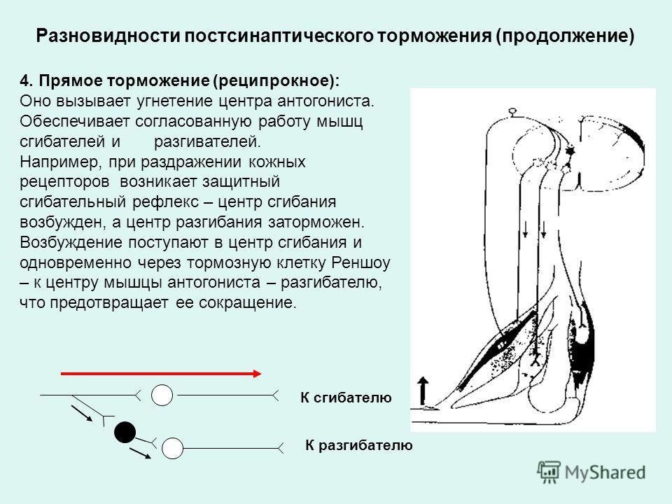 Разновидности постсинаптического торможения (продолжение) 4. Прямое торможение (реципрокное): Оно вызывает угнетение центра антогониста. Обеспечивает согласованную работу мышц сгибателей и разгивателей. Например, при раздражении кожных рецепторов воз